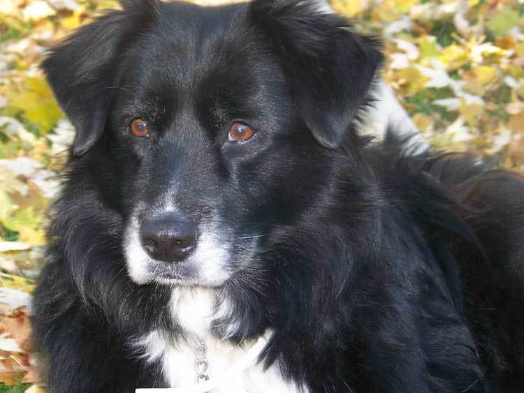 border-collie-labrador-mix | Home Staging Blog